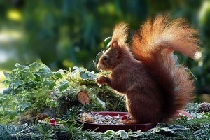 squirrel eating in nature, healthy, indigestion